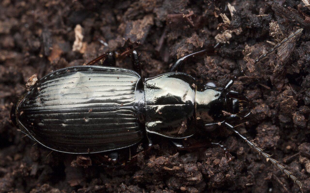 Pterostichus-9853.jpg