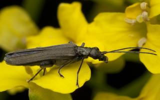 Oedemera sp. male · laibavabalis ♂