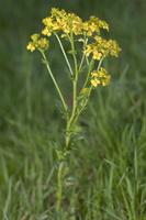 Barbarea vulgaris · paprastoji barborytė