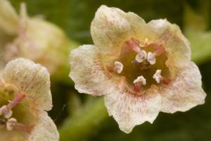 Ribes rubrum · raudonasis serbentas