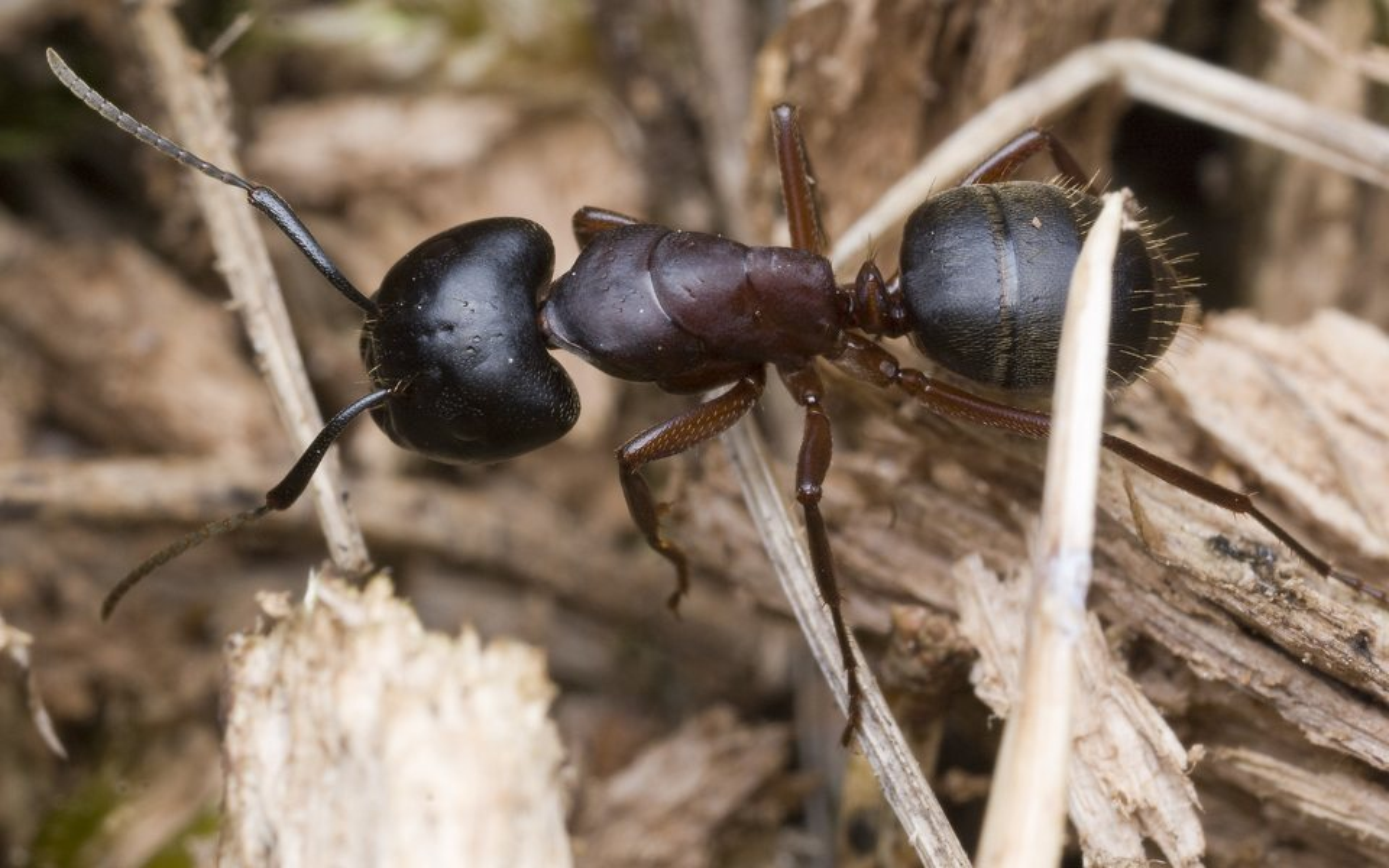 Formicidae-9957.jpg