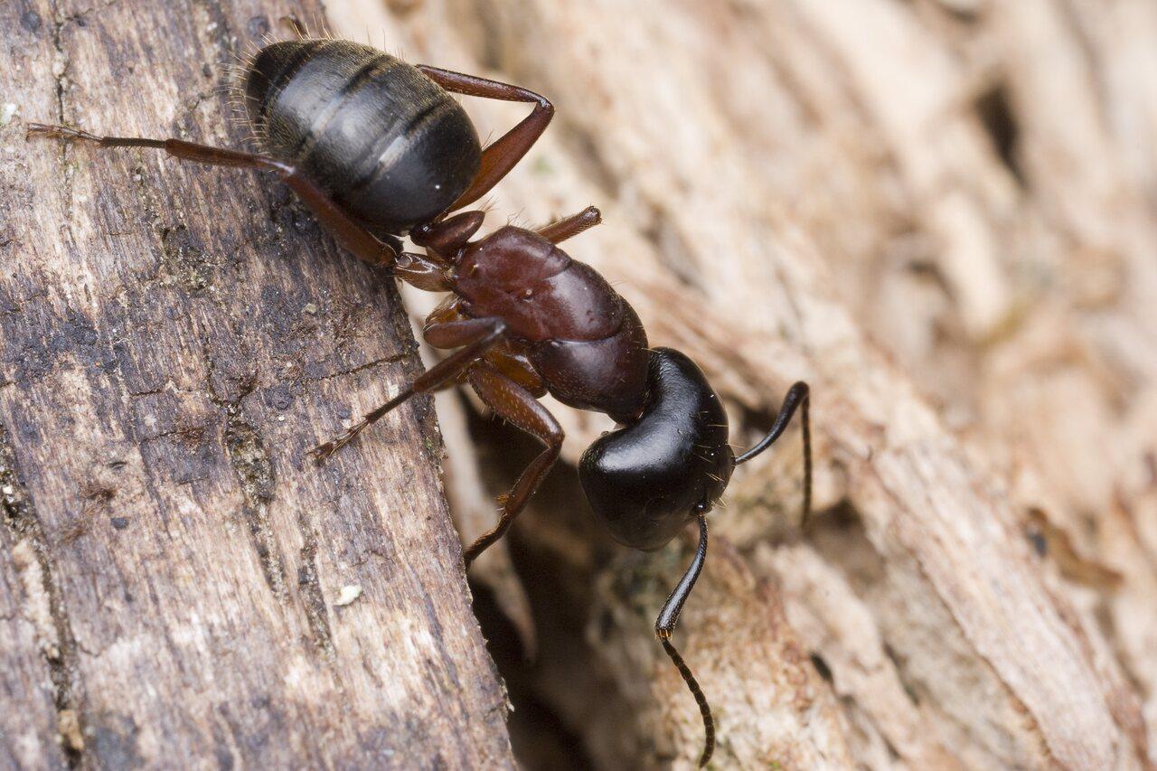 Formicidae-9963.jpg