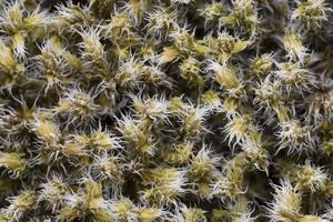 Hedwigia ciliata · blakstienuotoji hedvigija