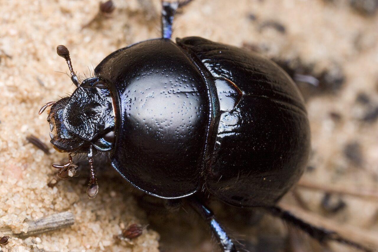 Anoplotrupes-stercorosus-9981.jpg