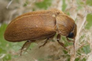Byturus tomentosus · paprastasis avietinukas