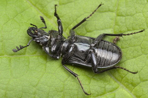 Platycerus caraboides male 0046