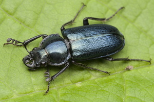 Platycerus caraboides male 0049