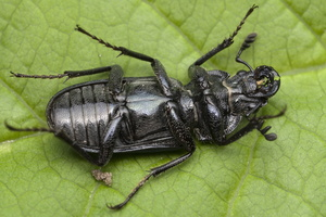 Platycerus caraboides male 0051