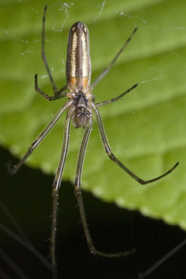 Tetragnathidae-0055.jpg