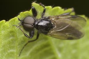 Bibionidae · storakojai uodai