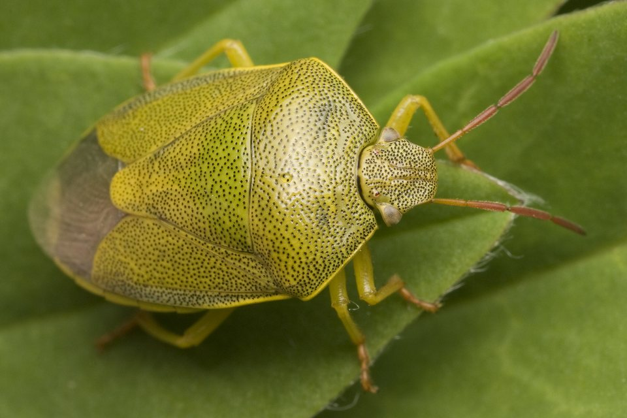 Piezodorus-lituratus-0064.jpg