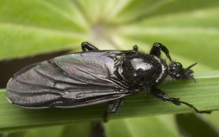 Bibio marci female · storakojis uodas ♀