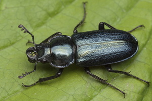 Platycerus caraboides male 0087