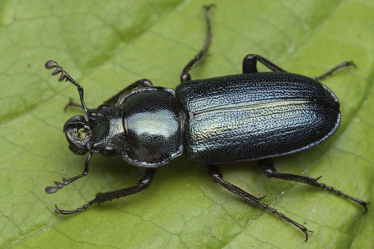 Platycerus-caraboides-0087.jpg