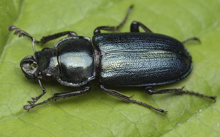 Platycerus caraboides male 0088
