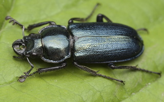 Platycerus caraboides male · žygiškasis elniavabalis ♂