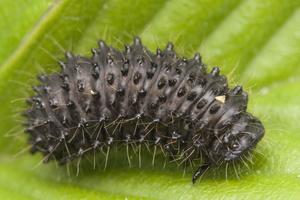 Chrysomelidae larva · lapgraužio lerva
