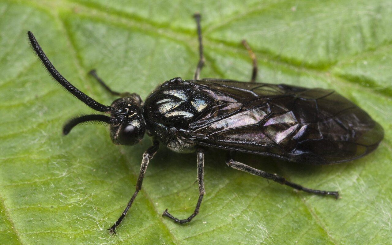 Hymenoptera-0121.jpg