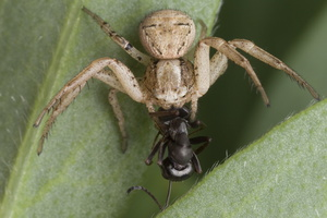 Thomisidae · krabvoris
