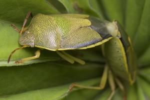 Piezodorus lituratus, mating · dvispalvė skydblakė poruojasi