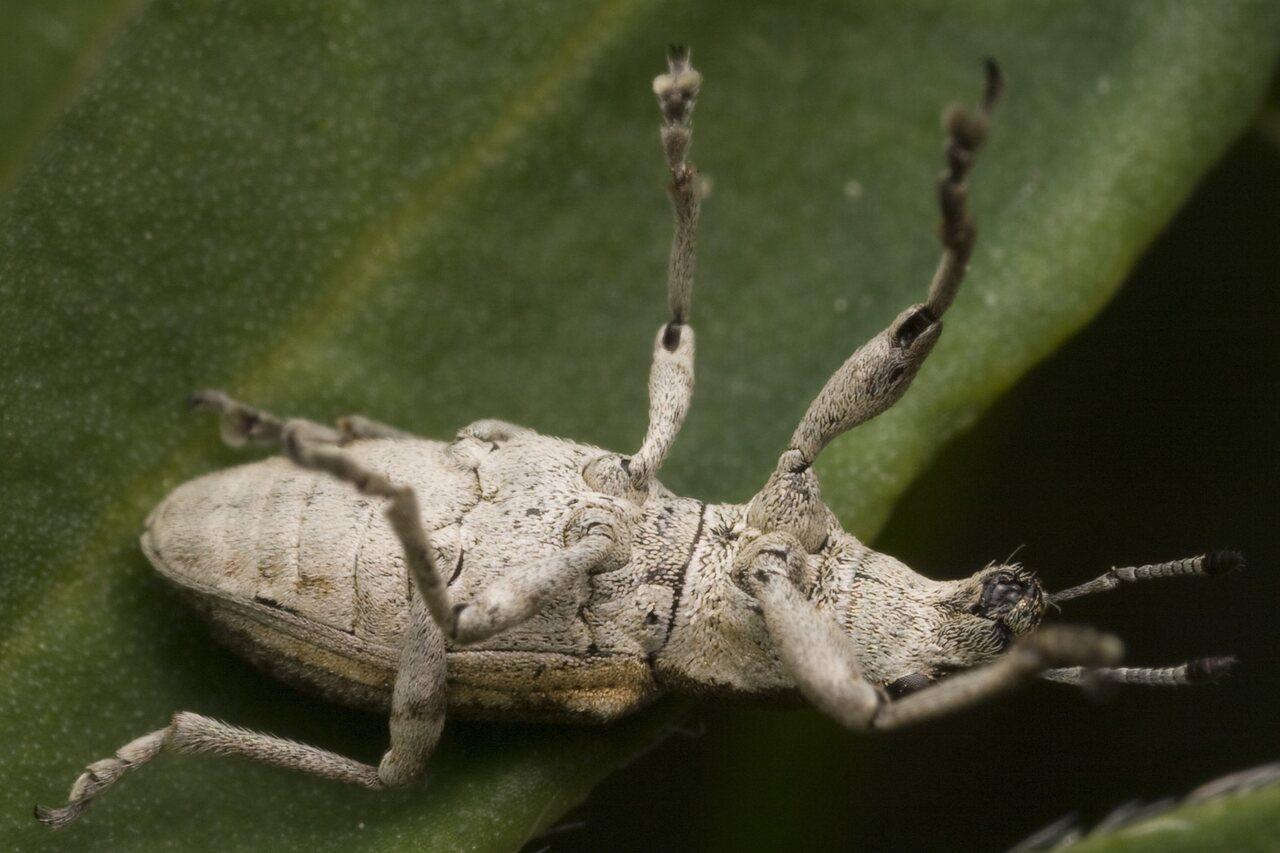 Curculionidae-9896.jpg