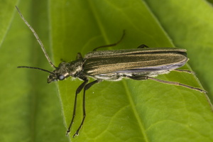 Oedemera sp. · laibavabalis
