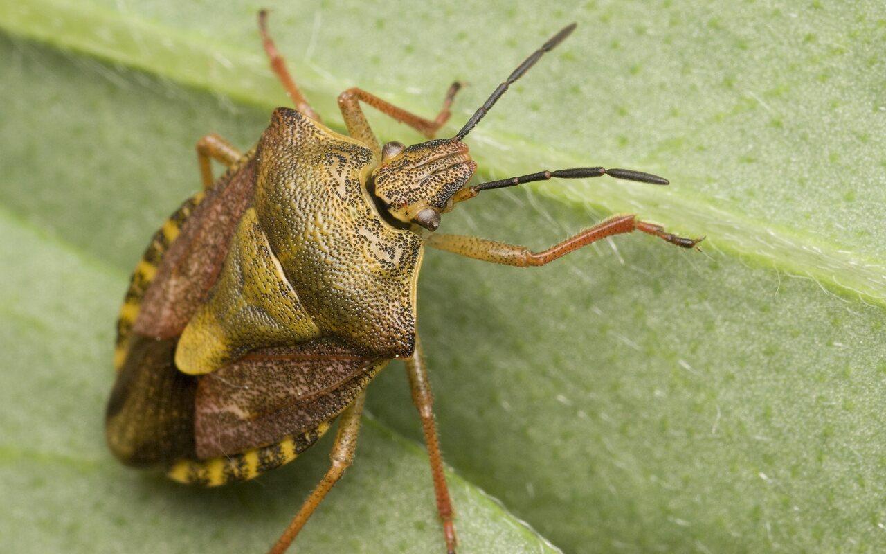 Carpocoris-pudicus-9907.jpg
