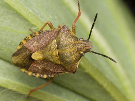 Carpocoris pudicus · paprastoji skydablakė