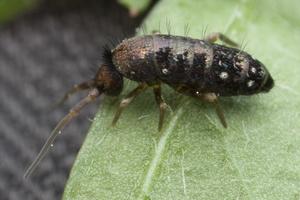 Thomocerus sp. 9952