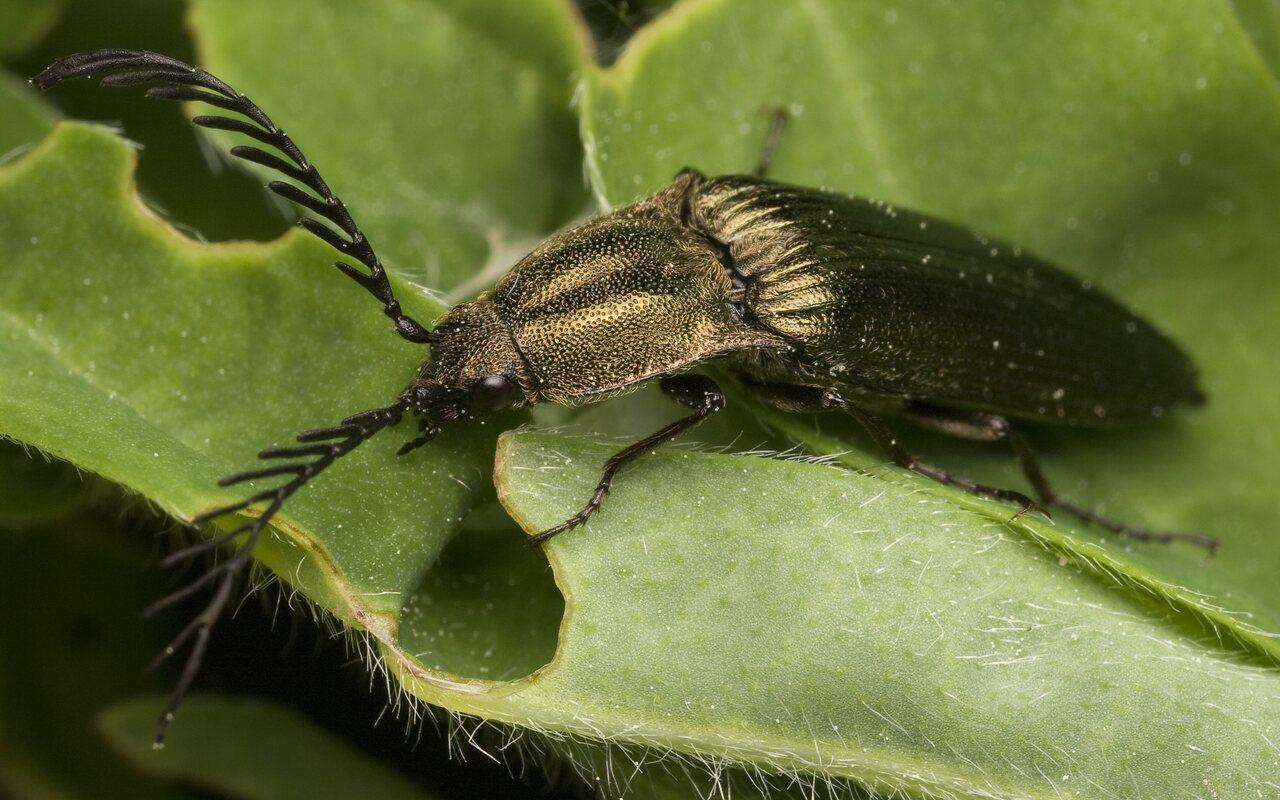 Ctenicera-pectinicornis-9960.jpg