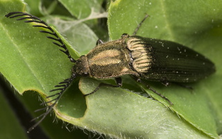 Ctenicera pectinicornis · šukaūsis pievaspragšis