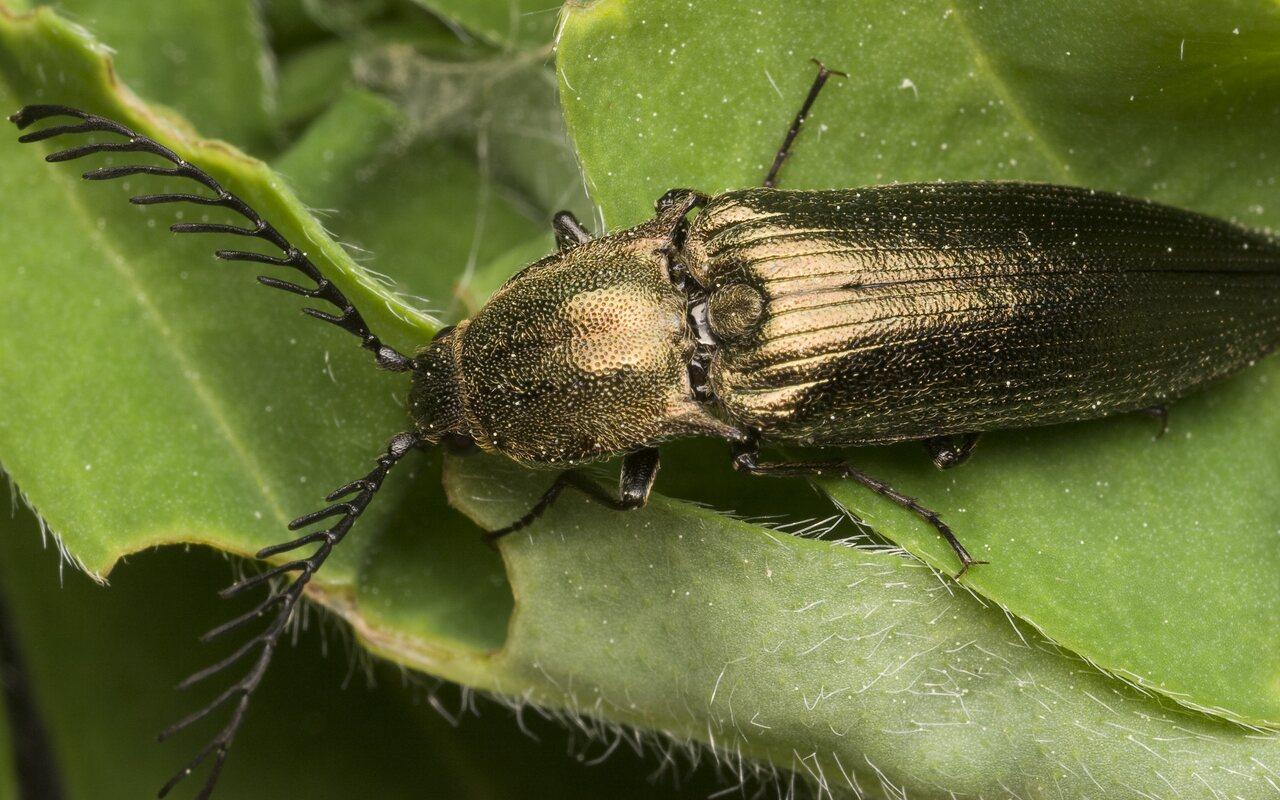 Ctenicera-pectinicornis-9962.jpg