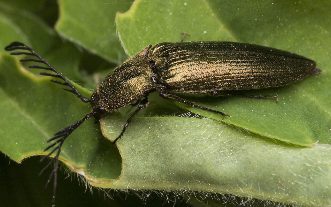 Ctenicera-pectinicornis-9964.jpg
