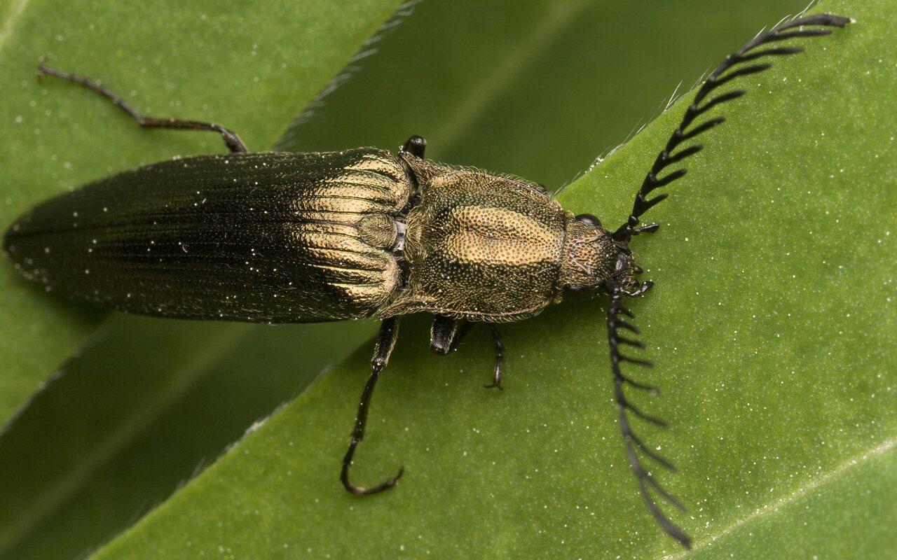 Ctenicera-pectinicornis-9966.jpg