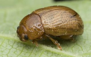 Gonioctena pallida · šermukšninis dygblauzdis