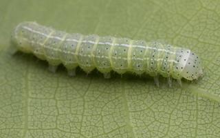 Cosmia trapezina · sodinis pelėdgalvis