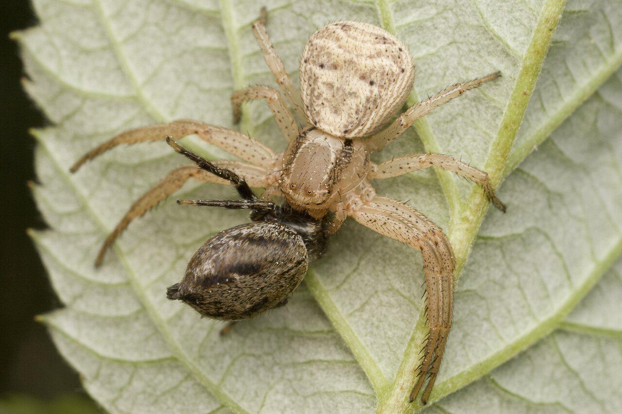 Thomisidae-0011.jpg