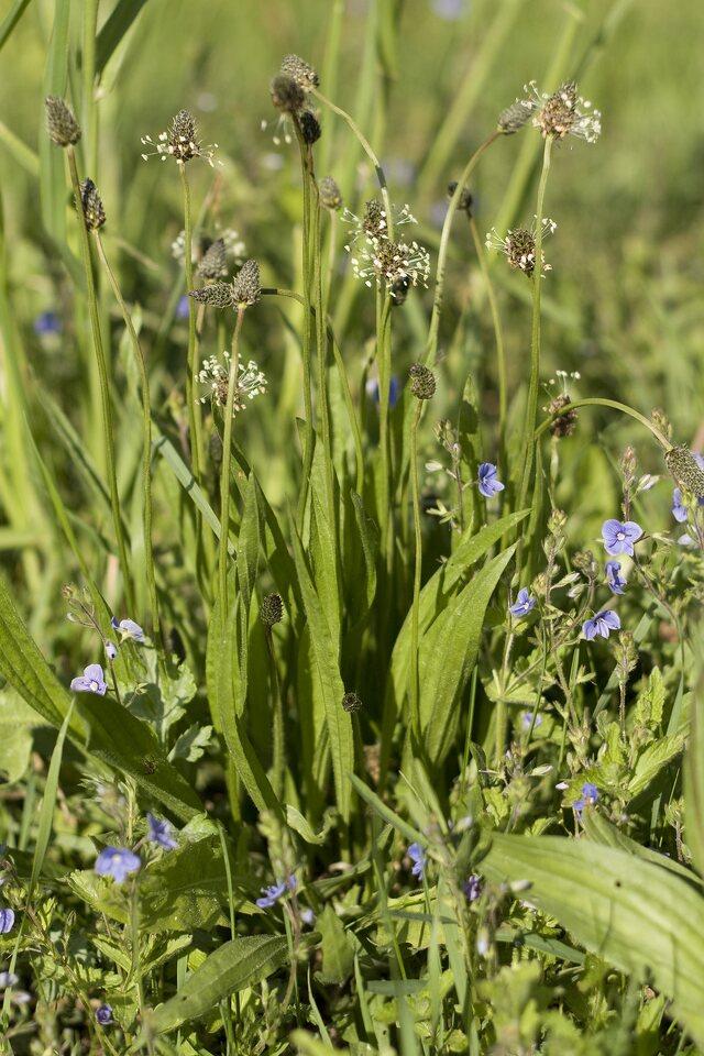 Plantago-lanceolata-0021.jpg