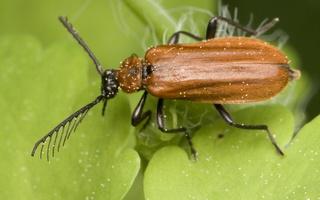 Schizotus pectinicornis male · šukaūsis raudonvabalis ♂