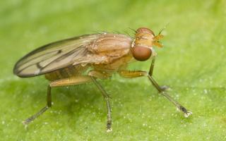 Tetanocera phyllophora · sraigžudė