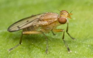 Tetanocera phyllophora · sraigžudė 0037
