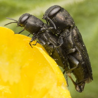 Anthaxia quadripunctata · keturtaškis blizgiavabalis