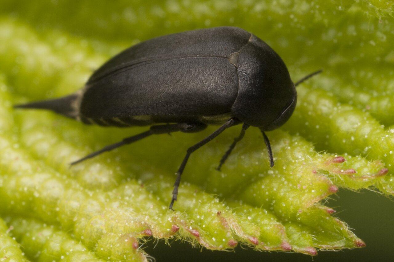Mordella-holomelaena-0049.jpg