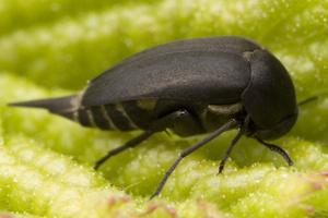 Mordella holomelaena · dygliavabalis