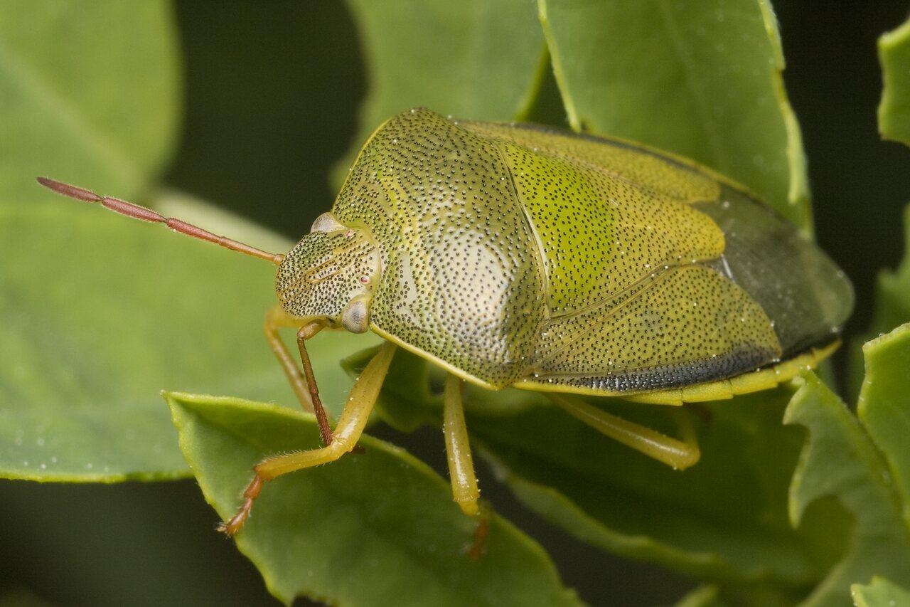 Piezodorus-lituratus-0056.jpg