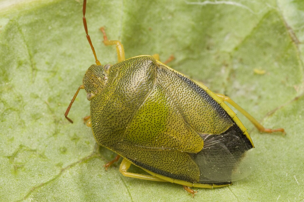 Piezodorus-lituratus-0057.jpg