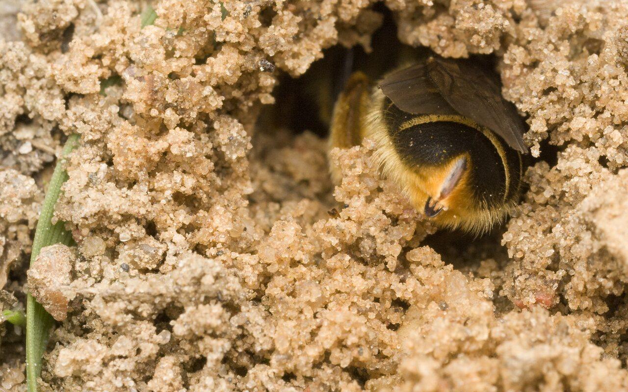 Apidae-0061.jpg