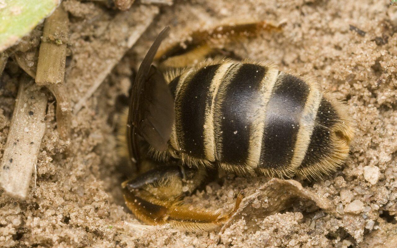 Apidae-0063.jpg