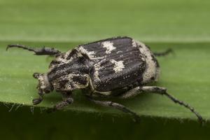 Valgus hemipterus male · smailapilvis grambuoliukas ♂
