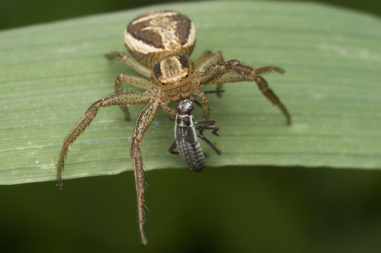 Thomisidae-0127.jpg